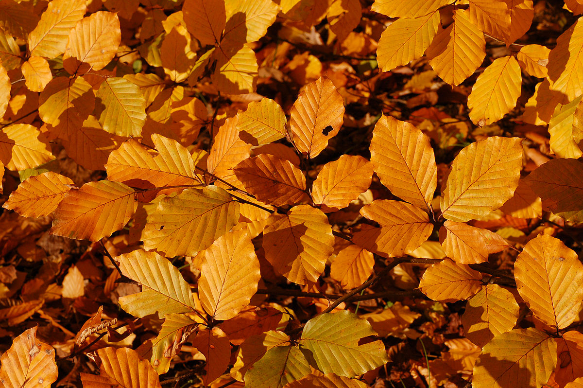 1200px Copper Beech Fagus sylvatica f. purpurea Autumn Leaves Closeup 3008px